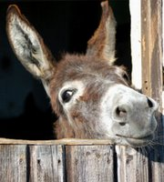 burro en establo
